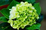 Green hydrangea flower by a6-k