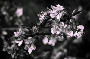 Black Blossoms by SYSPLUCK