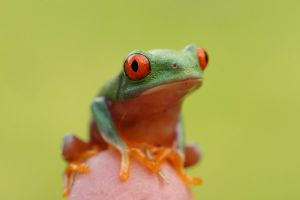 red eyed tree frog V16 by AngiWallace