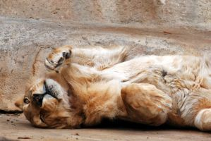 Supine Lion by robbobert