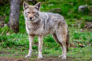 Coyote on his guard by ClaudeP-Photography