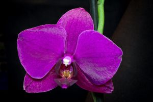 Orchid 4171 by morfeus888
