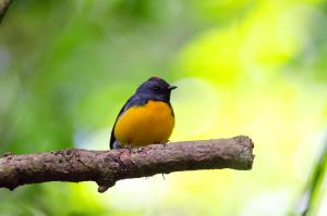 Slate-throated Redstart by do7slash