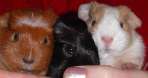 Baby Guinea Piggies by Always-Hated
