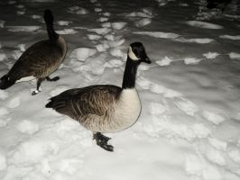 new years hello canadian goose by analovecatdog