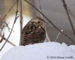 Song Sparrow in the Snow by arcadian7