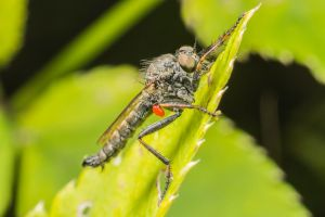 Robberfly with a tick by Kuvailija