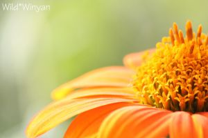 Fall's Flower by WildWinyan