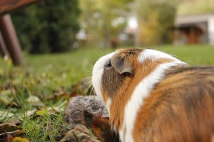 Piggies' Autumn by Calitha-Lena