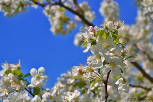 white blossom by Iulian-dA-gallery