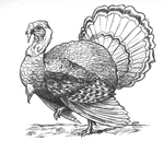 Color Me: Thanksgiving Turkey by BrightObject