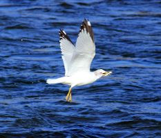Ring Billed Gull with lunch by sgt-slaughter