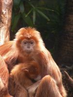 Golden Monkey and baby by whitepegasus7191