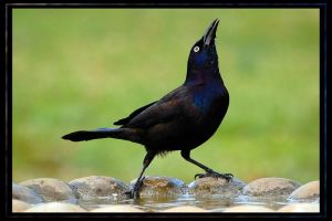 gargling grackle by photom17