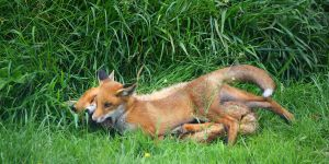 Fox and Cub playing by monkmonk12