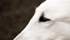 borzoi close up by Honeycorn