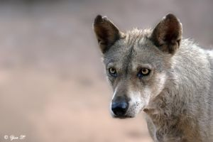 male canis lupus pallipes by Yair-Leibovich