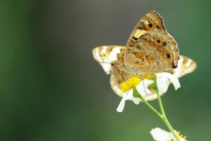 Butterfly 01 by akpsphotowork