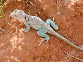 Collared Lizard in Palo Duro by xofox