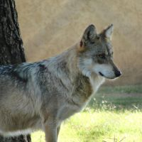 Nov1: Mexican Wolf 2 by FamilyCanidae