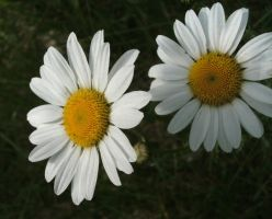 Daisies by Rubyfire14-Stock