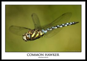 Common Hawker.1 by THEDOC4