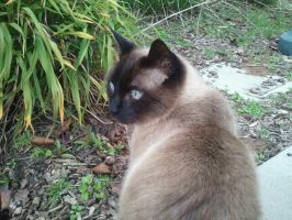 Siamese by FrostheartIsSiamese