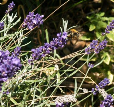 Lavender With Honey Bee by faeriesoph