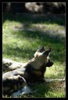 Painted Dog XIV NZ111007 by hoboinaschoolbus