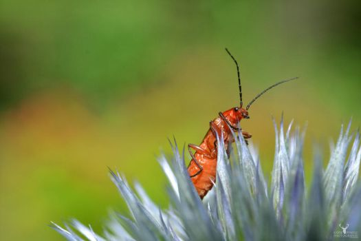 Soldier Beetle by Lady---Vengeance