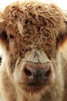 The Highland Cow by VarukaBlue