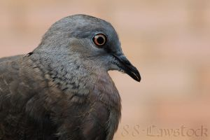 Spotted Turtle-Dove 02 by 88-Lawstock