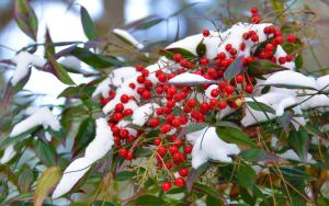 Snow-Berries 1-29-14 by Tailgun2009