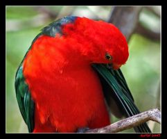 King Parrot by carterr