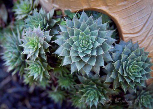 Hens-and-Chicks by EmilyNorthey