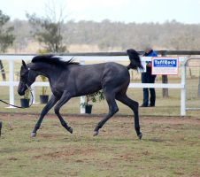 GE Arab filly grey trot neck arched lowered side by Chunga-Stock