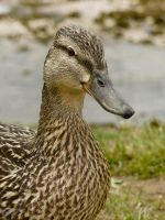 Duck II by iyonix