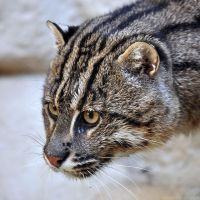 Fishing Cat Portrait by robbobert