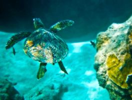 Sea Turtle Off Ke'e Beach by Utukki-Girl