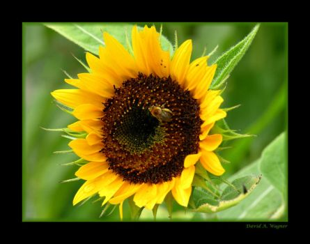 Sunflower by David-A-Wagner