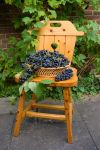 Grapes harvest 1 by steppelandstock