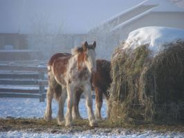 Clydesdale Yearlings 9 by okbrightstar-stock