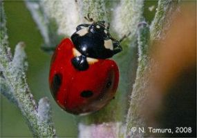 Ladybug by NTamura by Insect-Lovers-Club