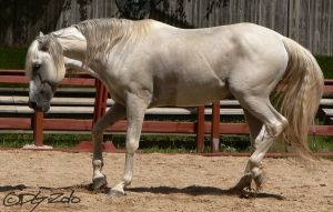 Andalusian Stallion - 88 by ElaineSeleneStock