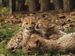 cuddly cubs by psychostange
