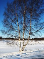 Winter birch by vonderwall