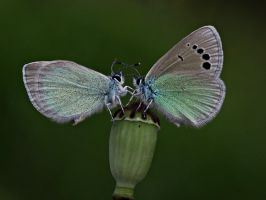 butterfly love by lisans