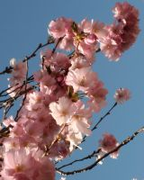 Cherry Blossoms by GreenEyezz-stock