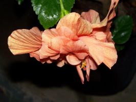 Hibiscus Flower 3 by seiyastock