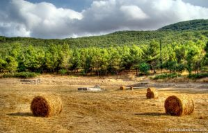 Pines and Bales by Fabiuss